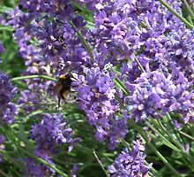 Bee on Lavender by MyPixx