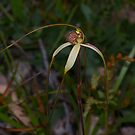 Caladenia patersonii.  (Paterson's Spider Orchid) by Russell Mawson