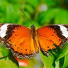 Orange Lacewing Butterfly by peasticks