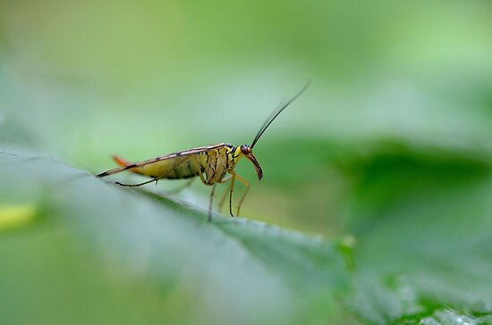 common scorpionfly by Nicole W.
