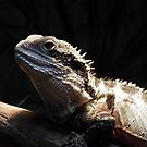 Australian Water Dragon  (Physignathus lesueurii) by CPlayle