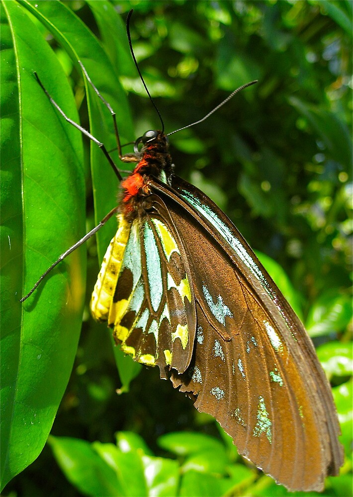 Male Cairns Birdwing Butterfly by peasticks