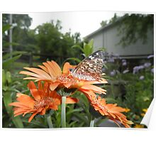 Painted Lady  Butterfly On Gerber Daisy Flower Poster