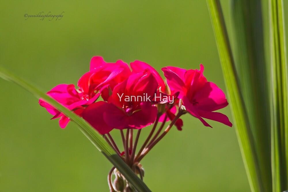 Crimson Pink (Geranium) by Yannik Hay