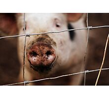 Pigs Nose Photographic Print