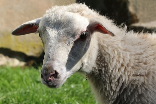 Closeup of Sheep by karina5