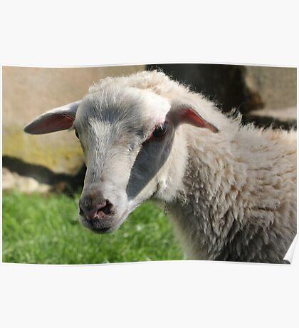Closeup of Sheep Poster