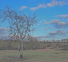 Silver Birch at the Bog, Hartlebury Common by dragoniab