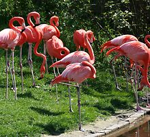 Pink Flamingoes at the Zoo by FaithAmor