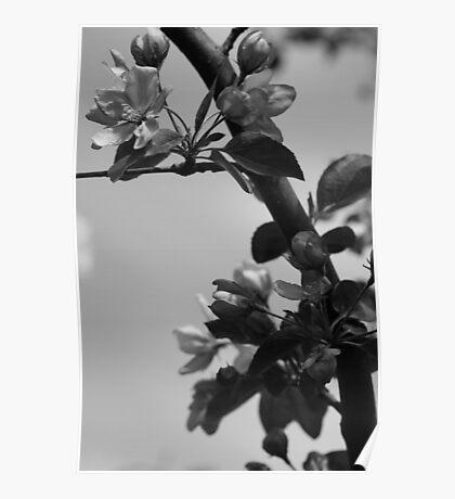Crab Apple Tree Poster