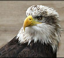 Female Bald Eagle by alan tunnicliffe