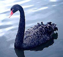 Black Swan  by J Bonanno
