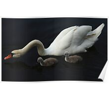 White Swan With Signets  Poster