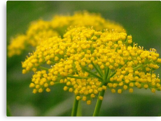 Prairie Parsley by lorilee