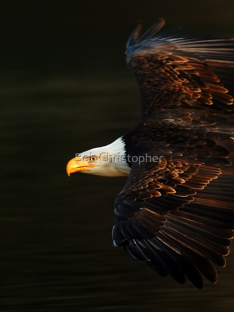 Bald Eagle In Flight by Bob Christopher
