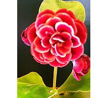 Miniature primrose Photographic Print
