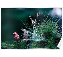 Mr and Mrs Purple Finch Poster
