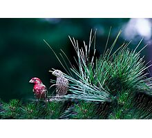 Mr and Mrs Purple Finch Photographic Print