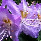 Rhododendron purple flowers by Julie Van Tosh Photography
