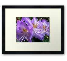 Rhododendron purple flowers Framed Print