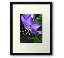 Rhododendron purple blue Framed Print