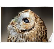 Tawny owl gazing skywards Poster