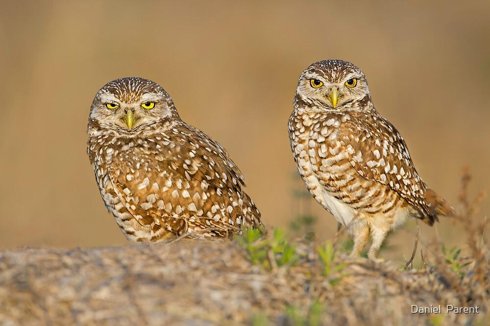 Owl Couple by Daniel  Parent
