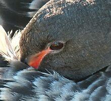 A Juvenile Black Swan Resting up. by shortshooter-Al