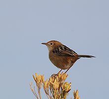 Golden-headed Cisticola by EnviroKey