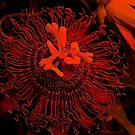 Passionflower in Red by Rosalie Scanlon