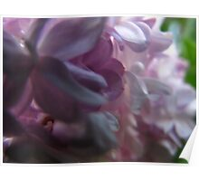 Lilac cluster Poster