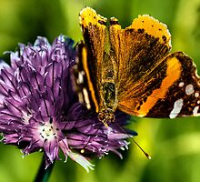 The Red Admiral by LudaNayvelt