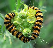 Caterpillar love by Shannon  Torrey