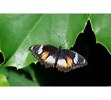 Common Egg Fly Butterfly Photographic Print