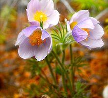 Prairie Crocus - Wildflowers of Alberta by Roxanne Persson