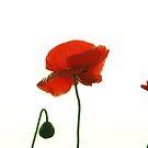 Poppies by Dr. Harmeet Singh