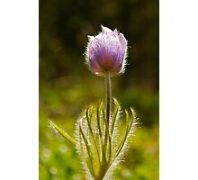 Prairie Crocus Halo - Wildflowers of Alberta Photographic Print