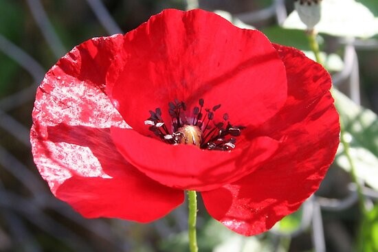 Single Red Poppy Flower  by taiche