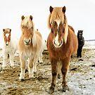 Icelandic Horses by Ólafur Már Sigurðsson
