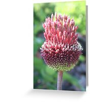 Close Up of An Ornamental Onion or Drumstick Allium Greeting Card