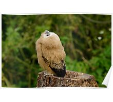Barred owlet Poster