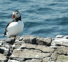 Puffin on the Farne Islands 2 by Jackie Wilson