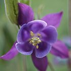 Purple Aquilegia by marens