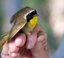 Common Yellowthroat by Eivor Kuchta