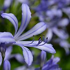 African Lily- Agapanthus by Irina93