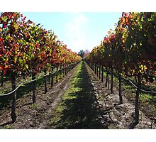 A vineyard in Fall Photographic Print