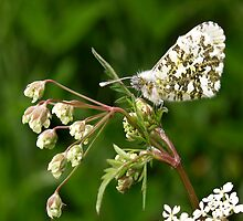Female Orange-tip Butterfly by redown
