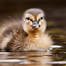 Mallard Duckling by Steve  Liptrot