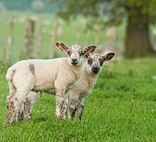 Lambs by Peter Towle