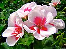 Garden Geranium - Pink and Red by MotherNature